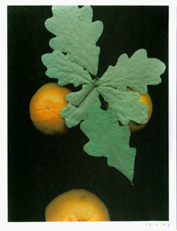 Leaves and Oranges II